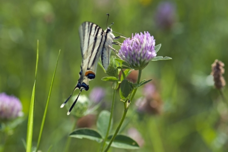 Butterfly Papilio machaon (Common Yellow Swallowtail) on the purple flower photo