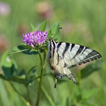 Swallowtail (Papilio machaon) collecting nectar photo