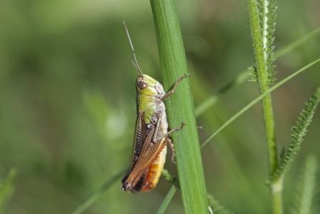 chorthippus: Detail of grasshopper on the grass (Chorthippus paralellus)