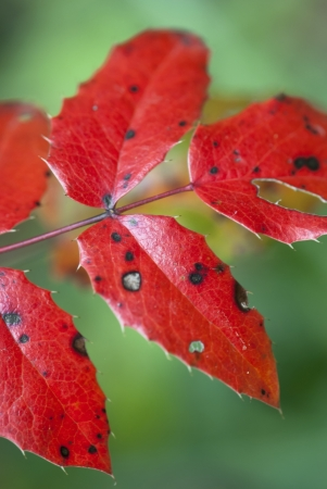Autumn background of red leaves, detail photo