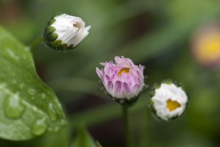 Small white and pink flowers with wet leaves photo