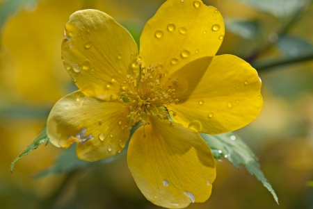 Water drops on a yellow flower, detail photo