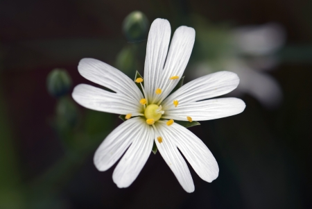 chickweed: A lonely white chickweed flower closeup on black background
