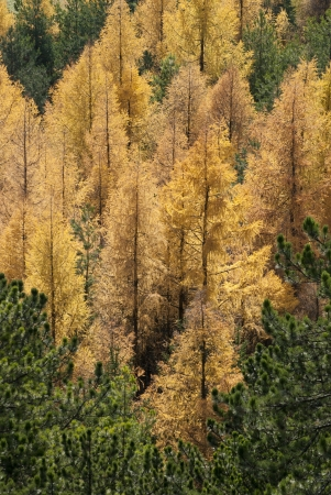 Yellow fallen trees in autumn forest  Larix decidua  photo