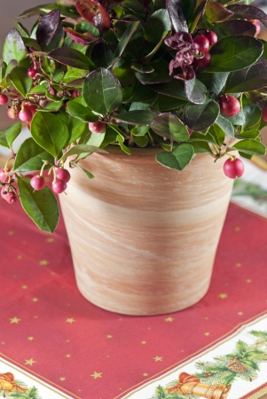 Gaultheria plant placed on a Christmas tablecloth photo