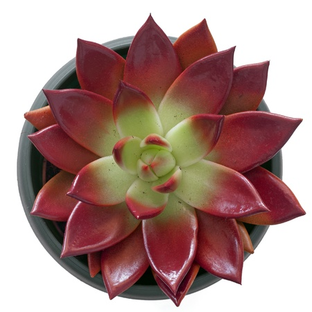 Succulent in a pot isolated on white background photo