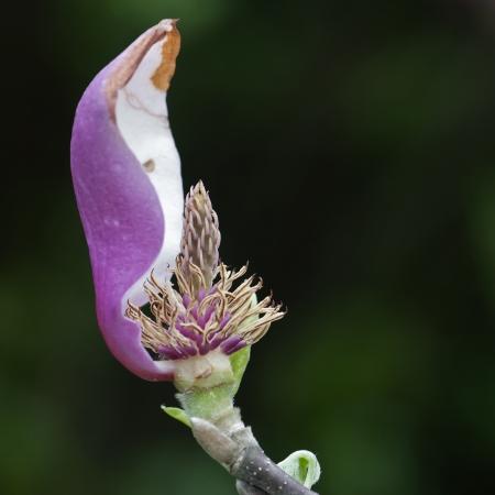 Magnolia flower with last petal Stock Photo - 16803951