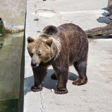 arctos: Brown bear at zoo (ursus arctos arctos)
