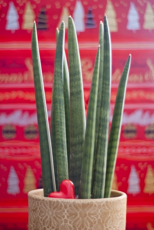 cylindrica: Sansevieria cylindrica with heart on a christmas background Stock Photo