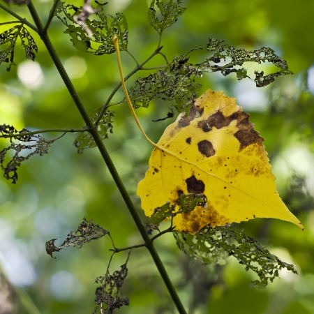 days gone by: Yellow leaf caught in dry limb on an autumn day