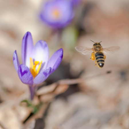 Flying bee pollinate spring flowers. photo