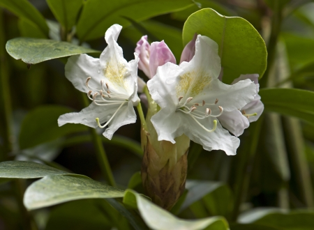 White Rhododendron flowers in spring. Stock Photo - 17129280