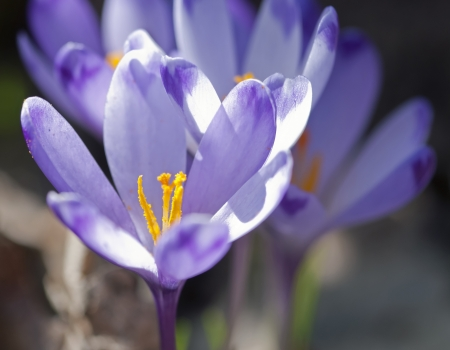 Purple crocus flowers in spring. Crocus heuffelianus. photo