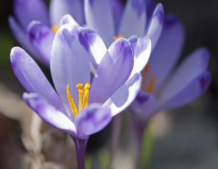 Purple crocus flowers in spring. Crocus heuffelianus.