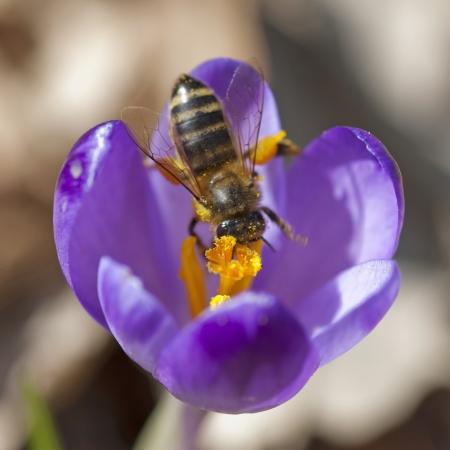 Macro of bee pollinate flower (Crocus heuffelianus)