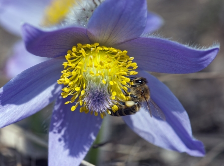 apis: Bee (Apis mellifera) pollinate pulsatilla flower (Pulsatilla slavica). Bee and flower. Stock Photo
