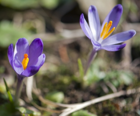 Purple crocus flowers (Crocus heuffelianus). photo