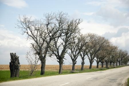 asphalt road: Tree lines and asphalt road.
