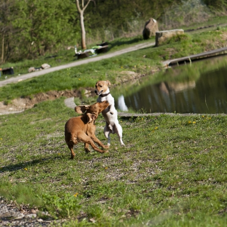 frolicking: Two dogs playing together on the grass. Stock Photo
