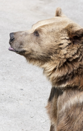 Brown bear stands and looks ahead. photo