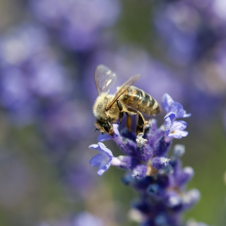 Bee pollinate a flower of the lavandula  Stock Photo - 18233139