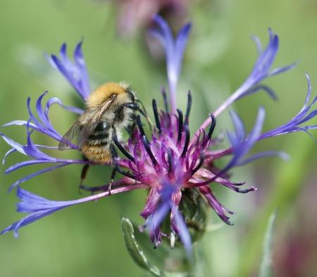 Bee pollinate beautiful cornflower in spring Stock Photo - 18233148