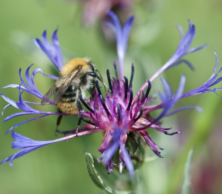 pollinate: Bee pollinate beautiful cornflower in spring