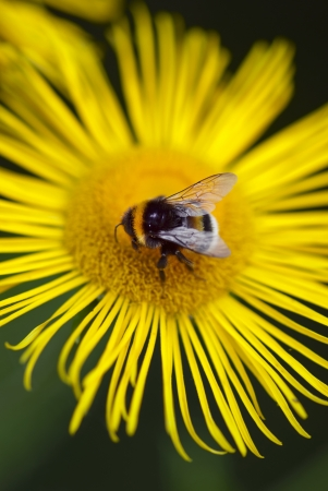Macro photo of a bee landing on a yellow daisy Stock Photo - 18233261