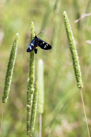 Black butterfly on the green grass  photo