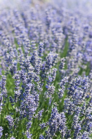 Bed of beautiful lavender flowers Stock Photo - 18467698