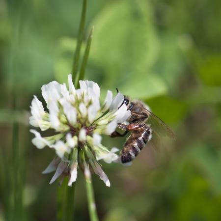 trifolium repens: White clover  Trifolium repens  and bee  Apis mellifera