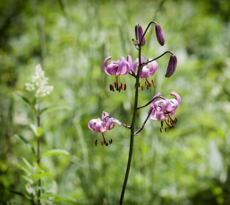 Detail of blooming lilium martagon  photo