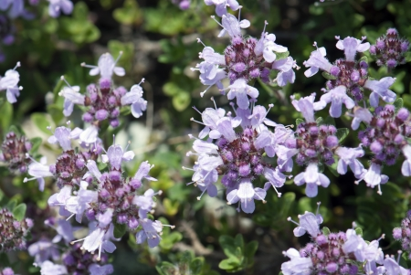 Background of small purple flowers  photo