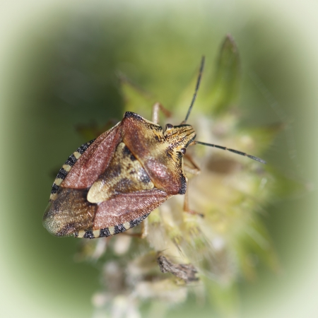 Detail of sloe bug  dolycoris baccarum   photo