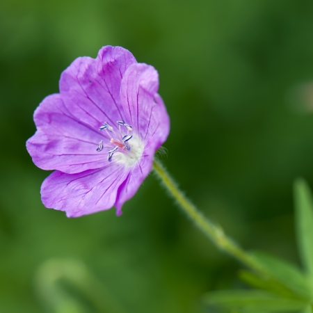 Closeup of a delicate purple flower  photo