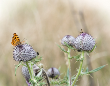 lycaena: Lesser fiery copper (Lycaena thersamon) sitting on a thistle. Stock Photo