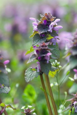 Detail of dead nettle  Lamium purpureum   photo