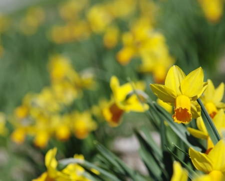 Flowerbed of blooming yellow daffodils. photo