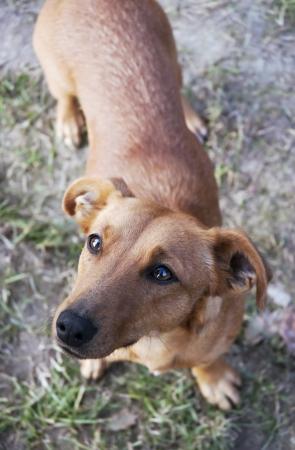 suplicando: Peque�o perro dachshund mirando con ojos suplicantes