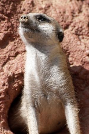 suricate: The meerkat or suricate  Suricata suricatta