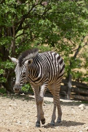 chapman's: Chapmans zebra  Equus quagga chapmani   Stock Photo