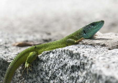 lacertidae: European green lizard  Lacerta viridis  is basking on a rock