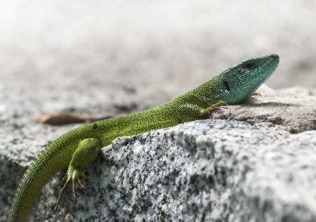 lacerta viridis: European green lizard  Lacerta viridis  is basking on a rock