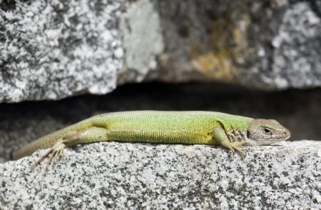 Lying european green lizard  Lacerta viridis  is basking on a rock  photo