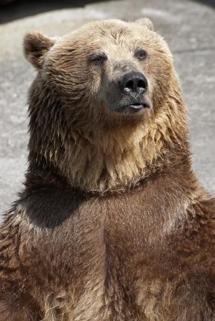 Standing brown bear  Ursus arctos arctos