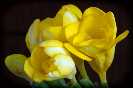 Blooming yellow freesia on a dark background. photo