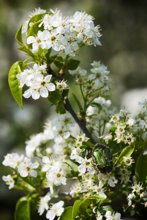 geotrupes: Spring wild cherry blossoms with beetles.