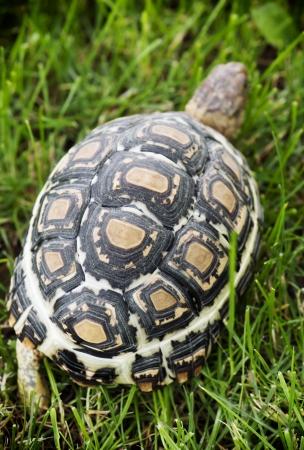 Leopard tortoise (Geochelone pardalis) walking on the lawn.