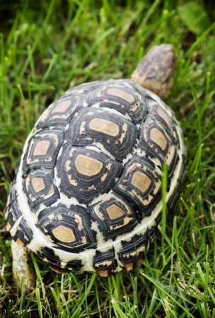 Leopard tortoise (Geochelone pardalis) walking on the lawn. photo
