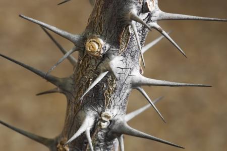Macro photo of succulent thorns.